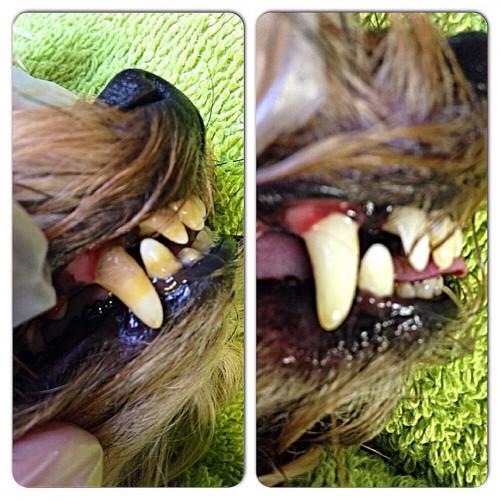 ultrazvukovaja chistka zubov sobak bez narkoza 500x500 Ультразвуковая чистка зубов у собак