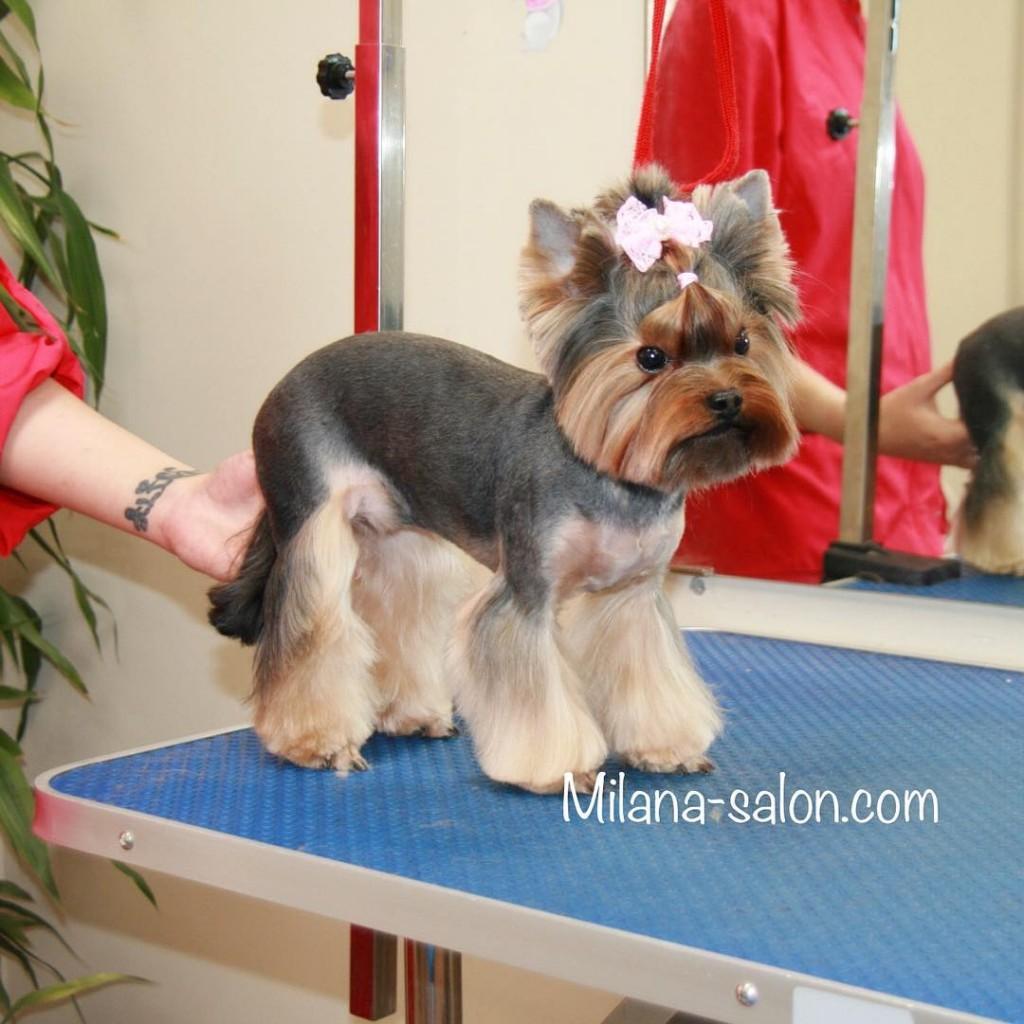 Фото пошаговая инструкция как подстричь йорка