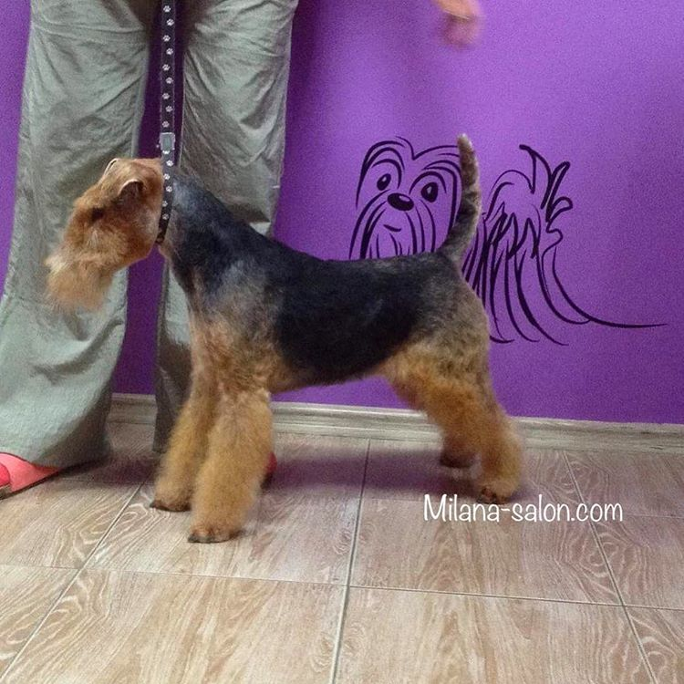 Тримминг собак – секреты жёсткой шерсти